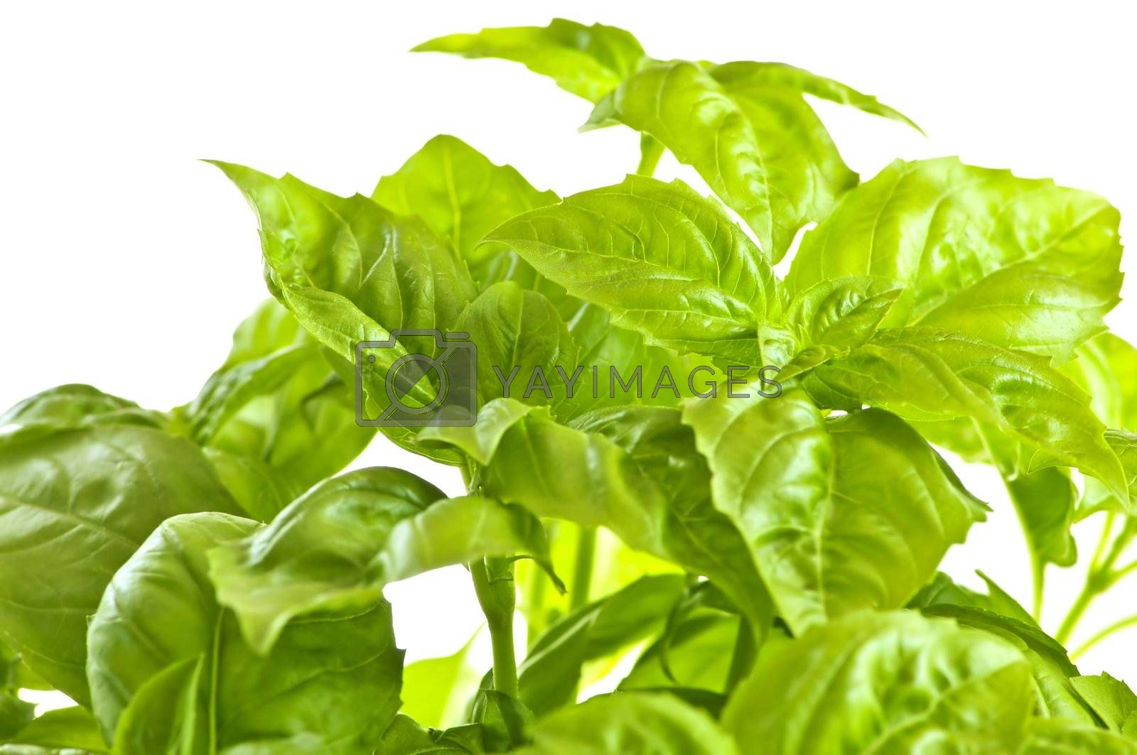 Green basil close up by elenathewise