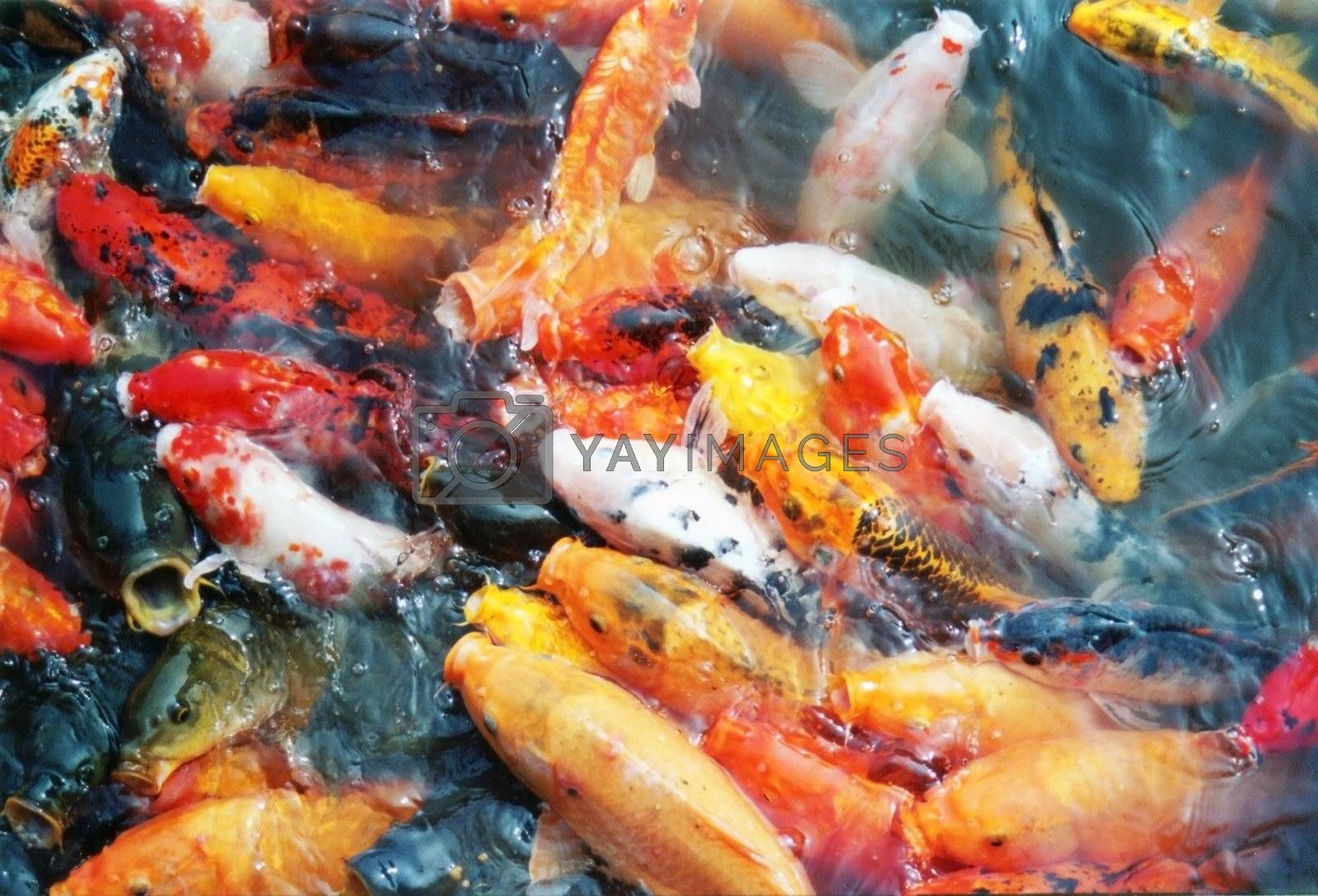 Colorful Chinese fishes by bartekchiny