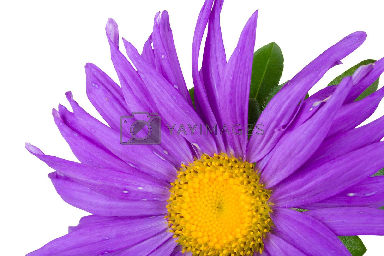 close-up part of purple aster by Alekcey