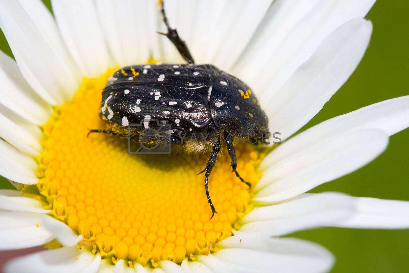 blossom feeder beetle on chamomile by Alekcey