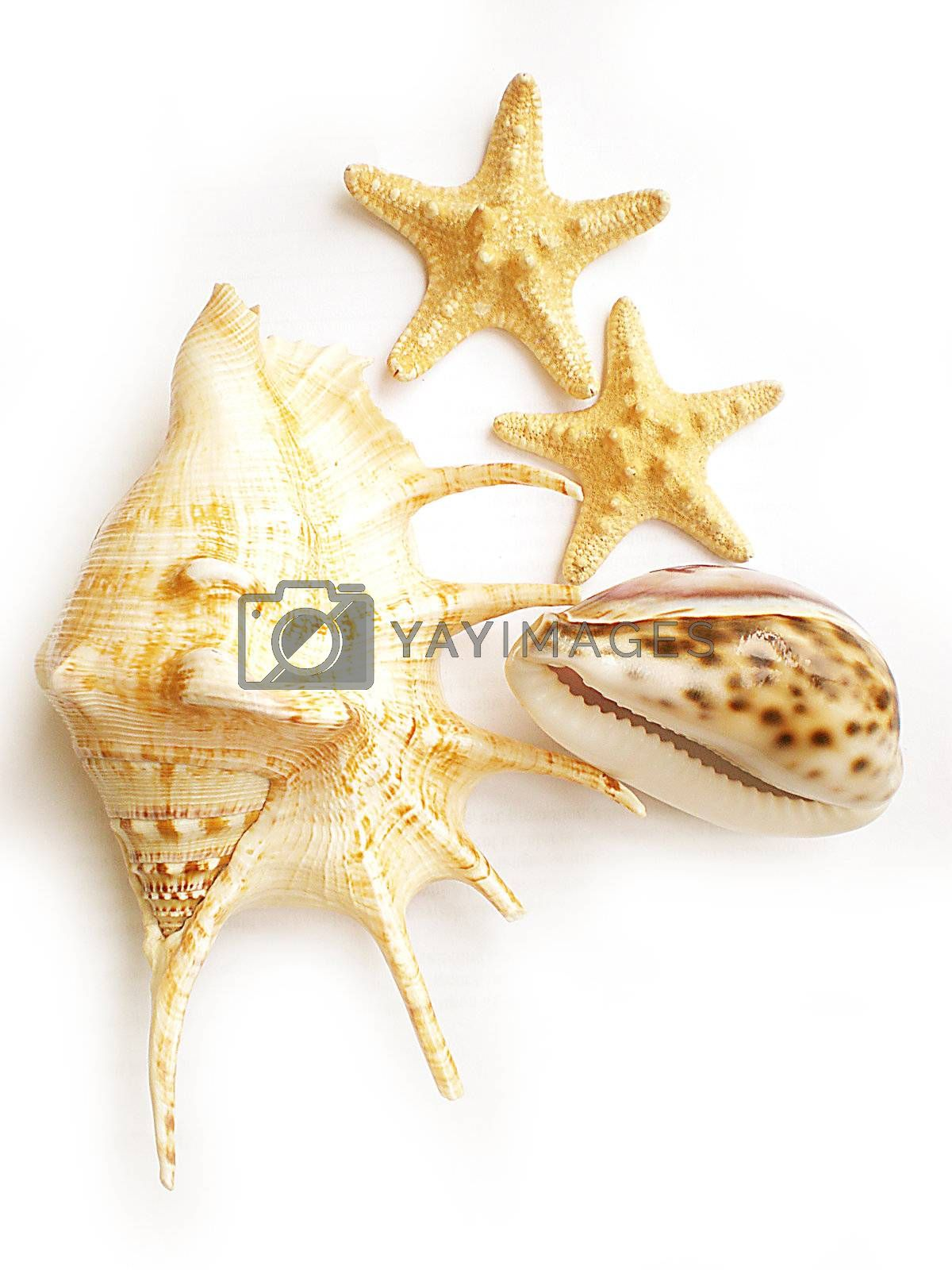 Royalty free image of shells by Dessie_bg