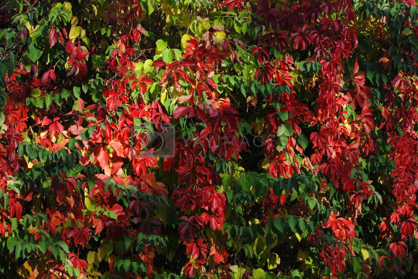 Red boston ivy leaves by wojciechkozlowski