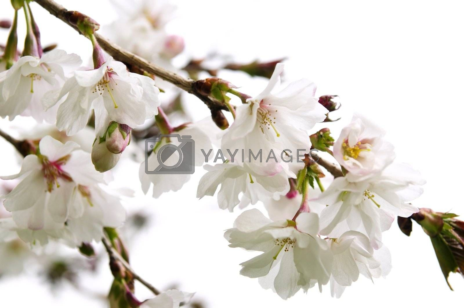 Royalty free image of Oriental cherry blossom by elenathewise