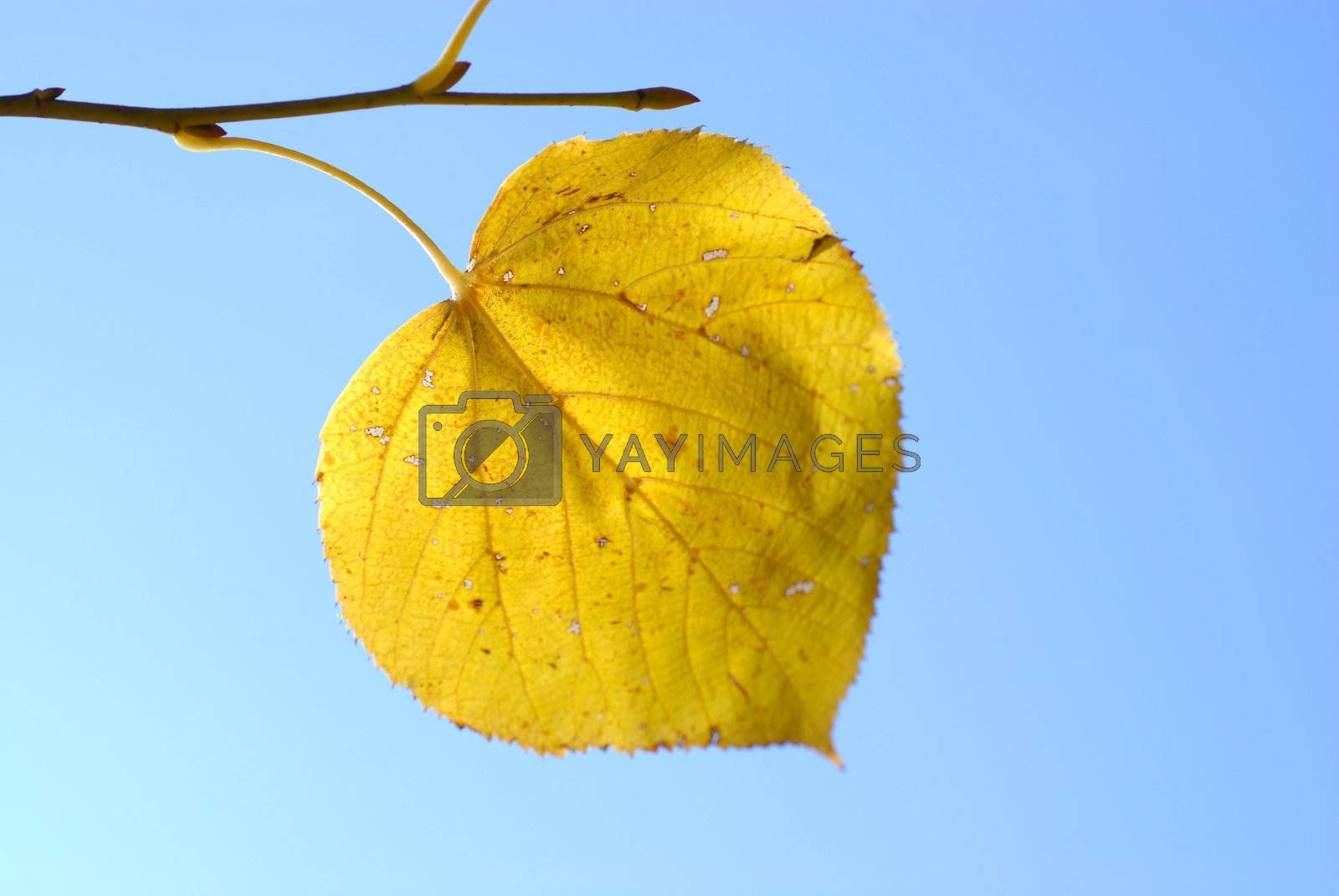 Royalty free image of Autumn leaf on a blue sky. by wojciechkozlowski