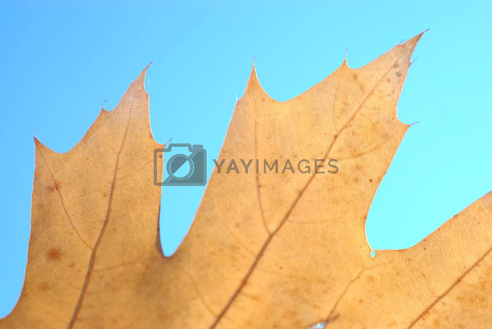 Royalty free image of Autumn oak leaf. by wojciechkozlowski