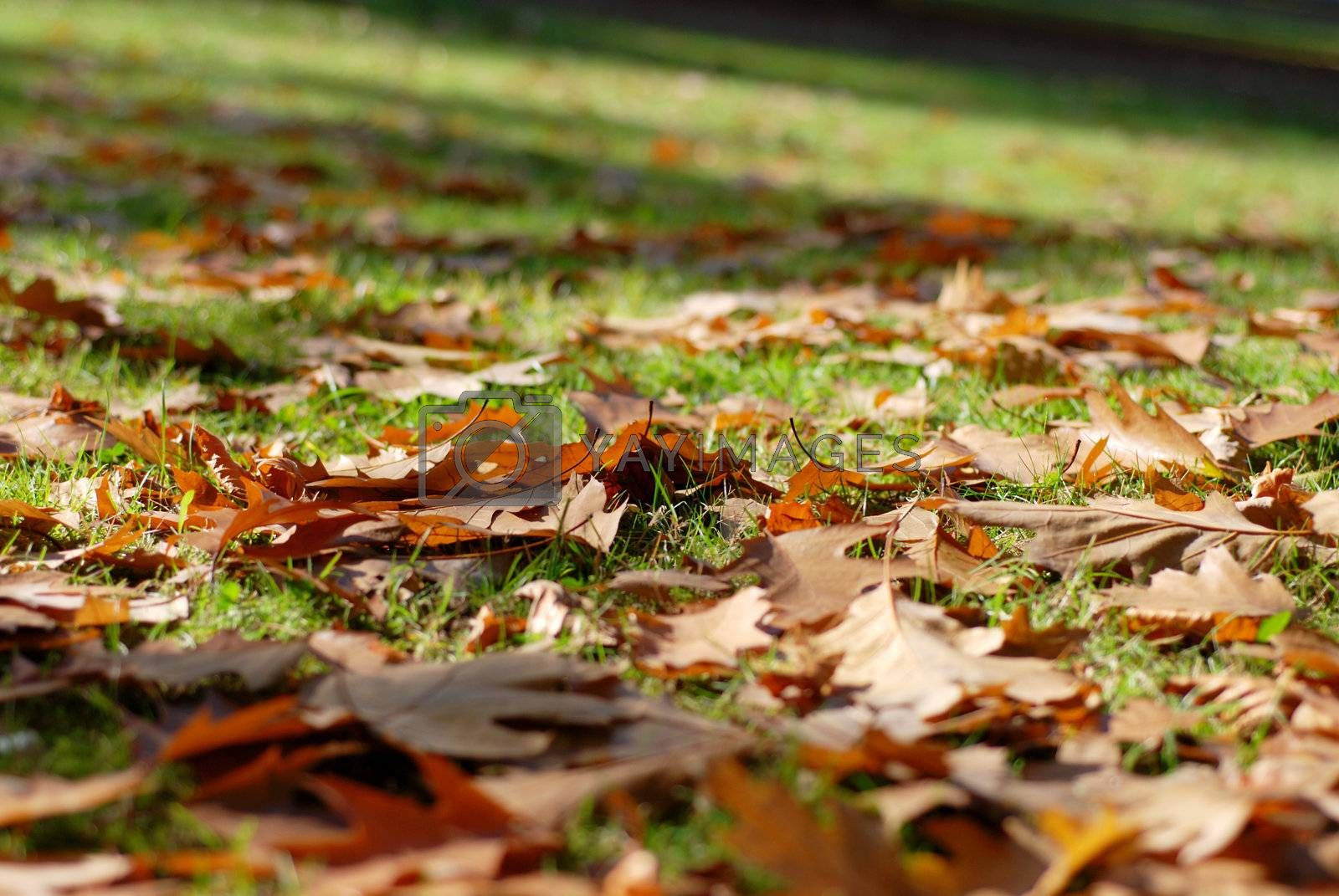 Royalty free image of Leaves of oak scattered on the grass. Autumn season. by wojciechkozlowski
