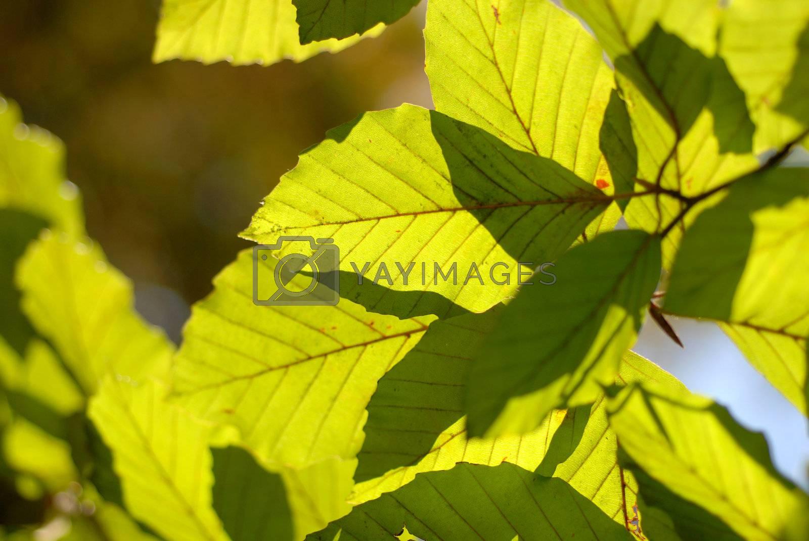 Beech leaf. by wojciechkozlowski