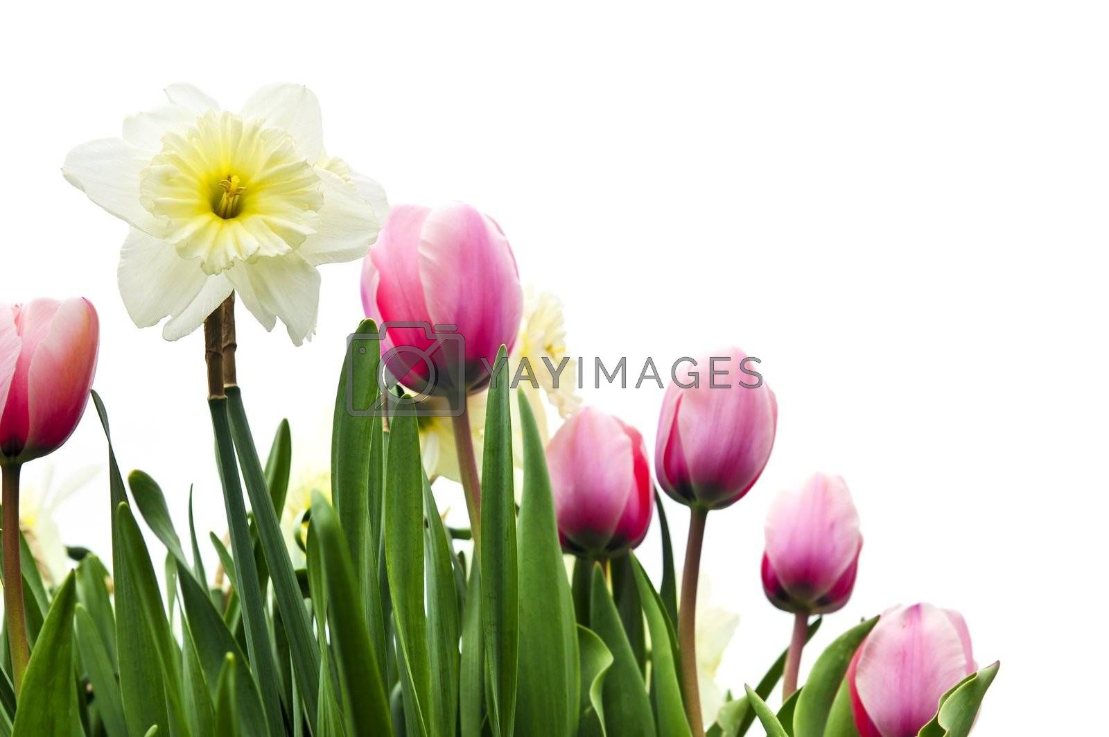 Tulips and daffodils on white background by elenathewise