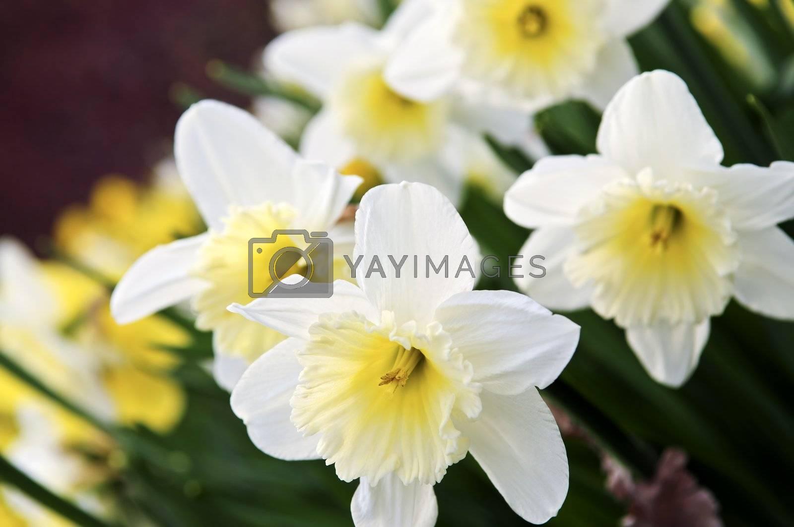 Daffodils by elenathewise