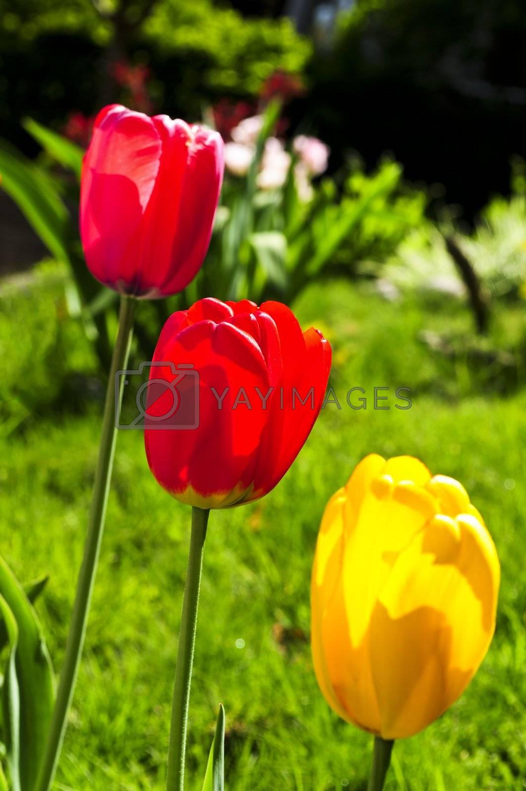 Tulips in spring garden by elenathewise