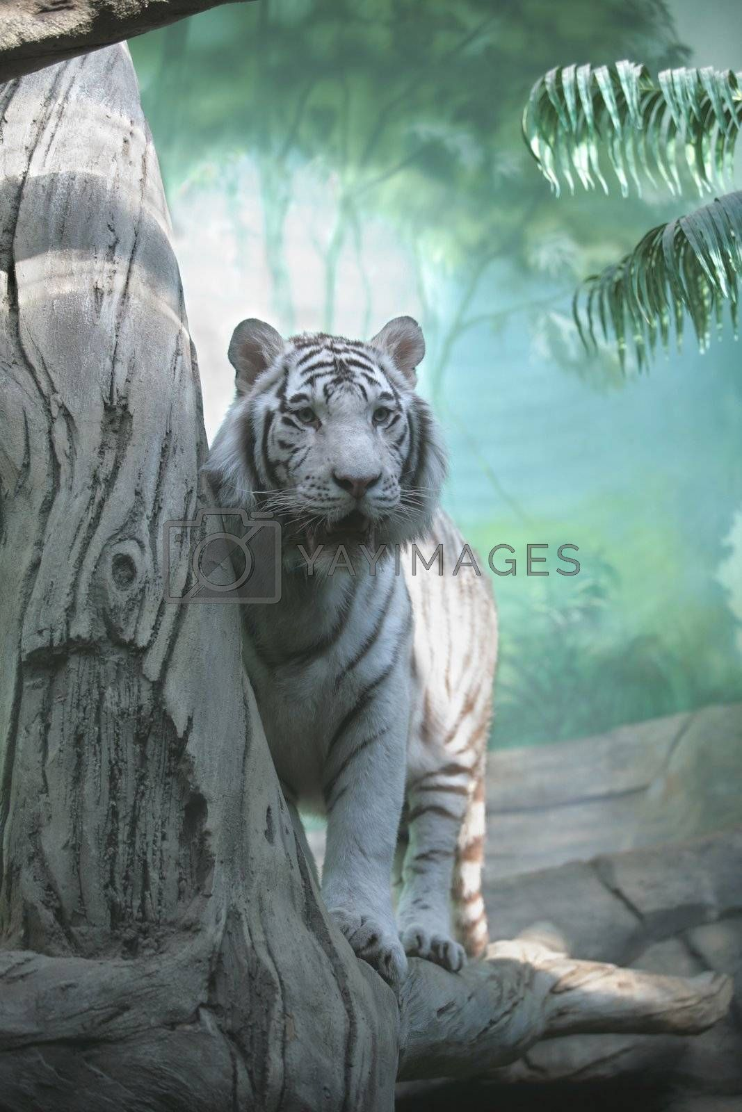 Royalty free image of White Tiger by Astroid