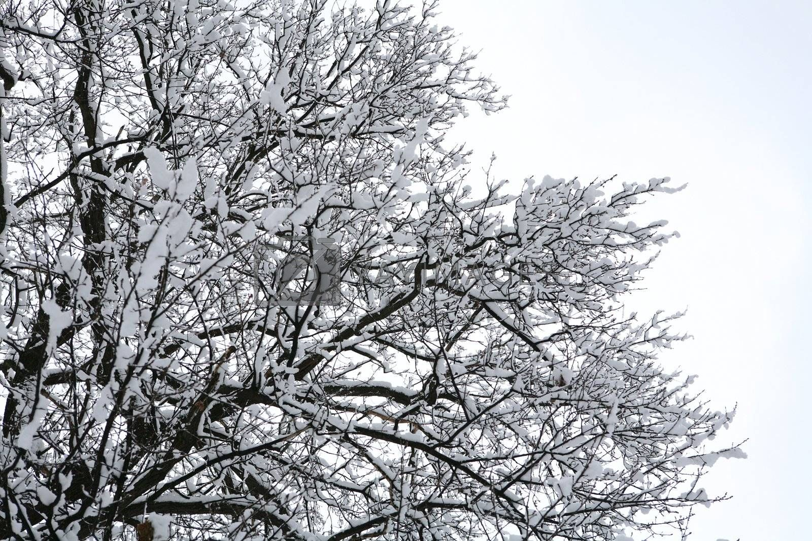 Royalty free image of tree covered by snow by Astroid