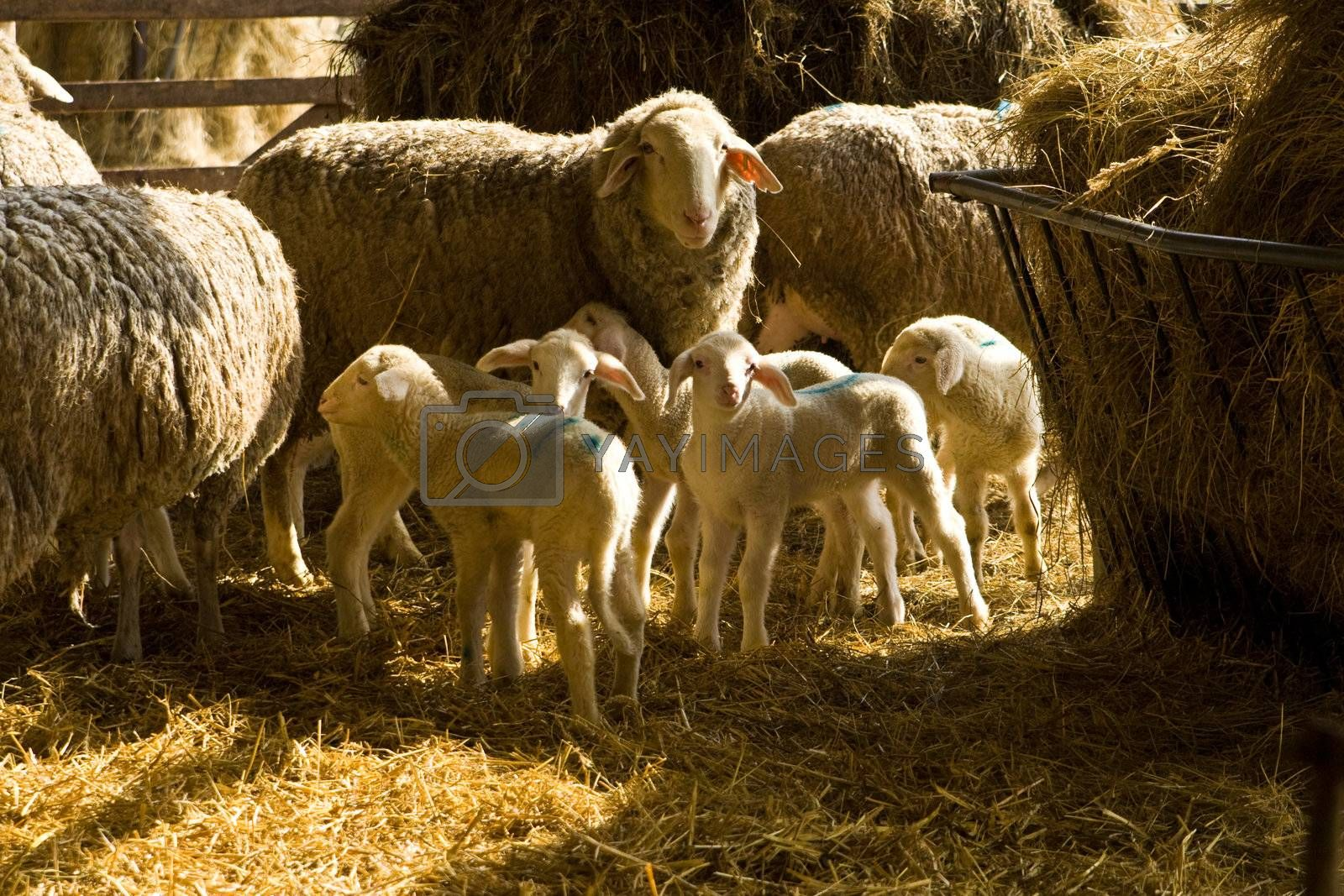 Royalty free image of sheeps and lambs by Copit