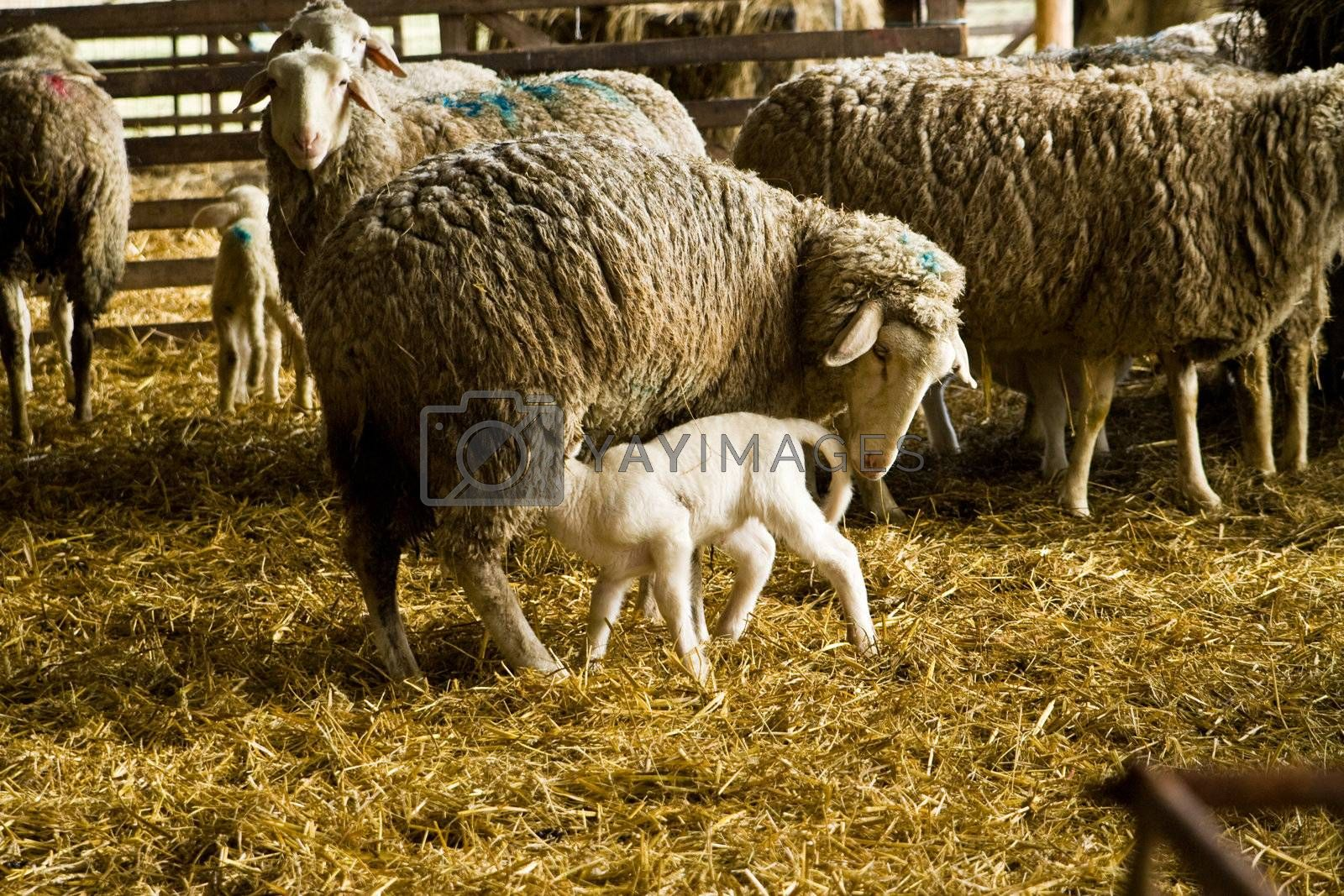 Royalty free image of sheeps with lamb by Copit