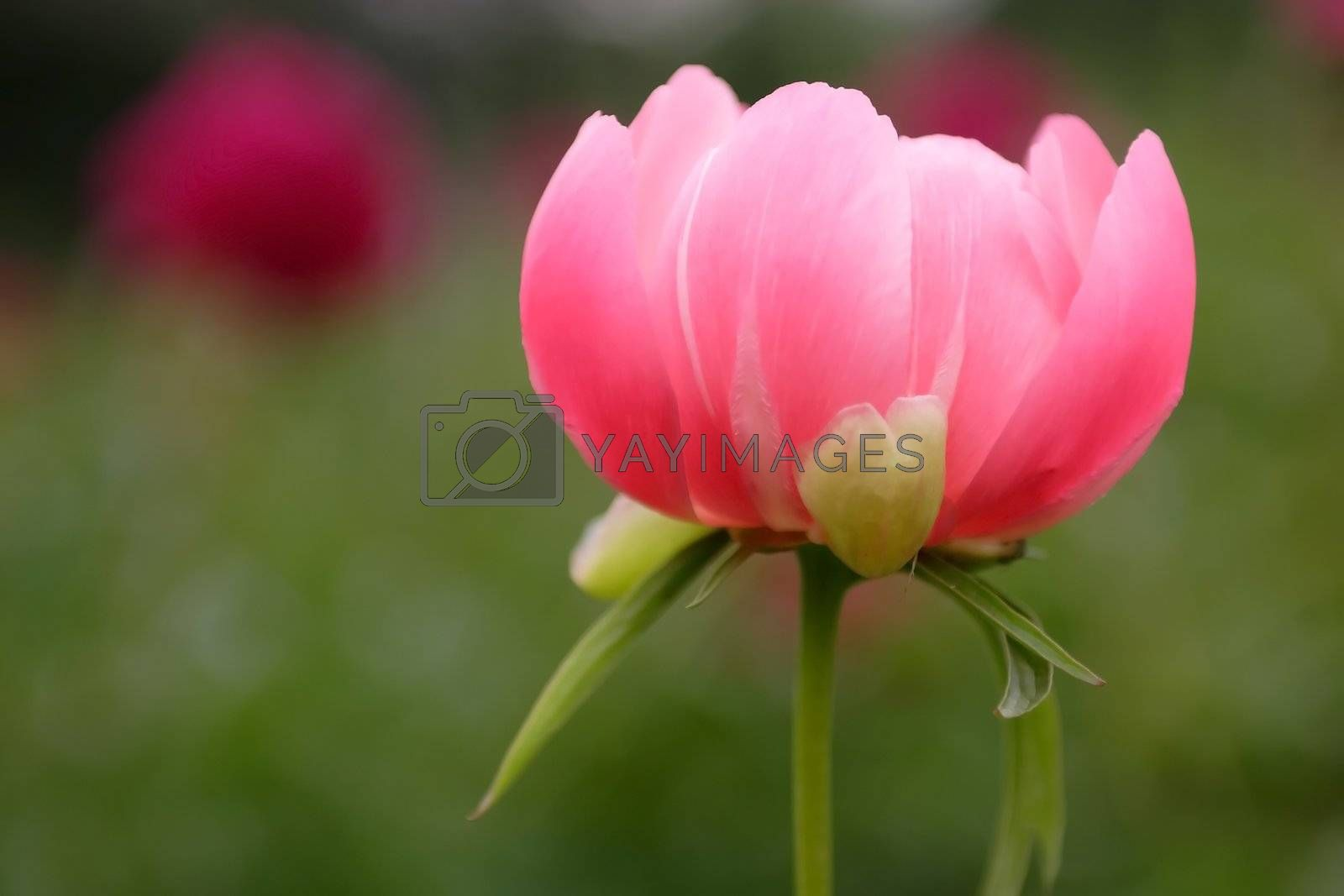 Royalty free image of Flowers, Peony by Astroid