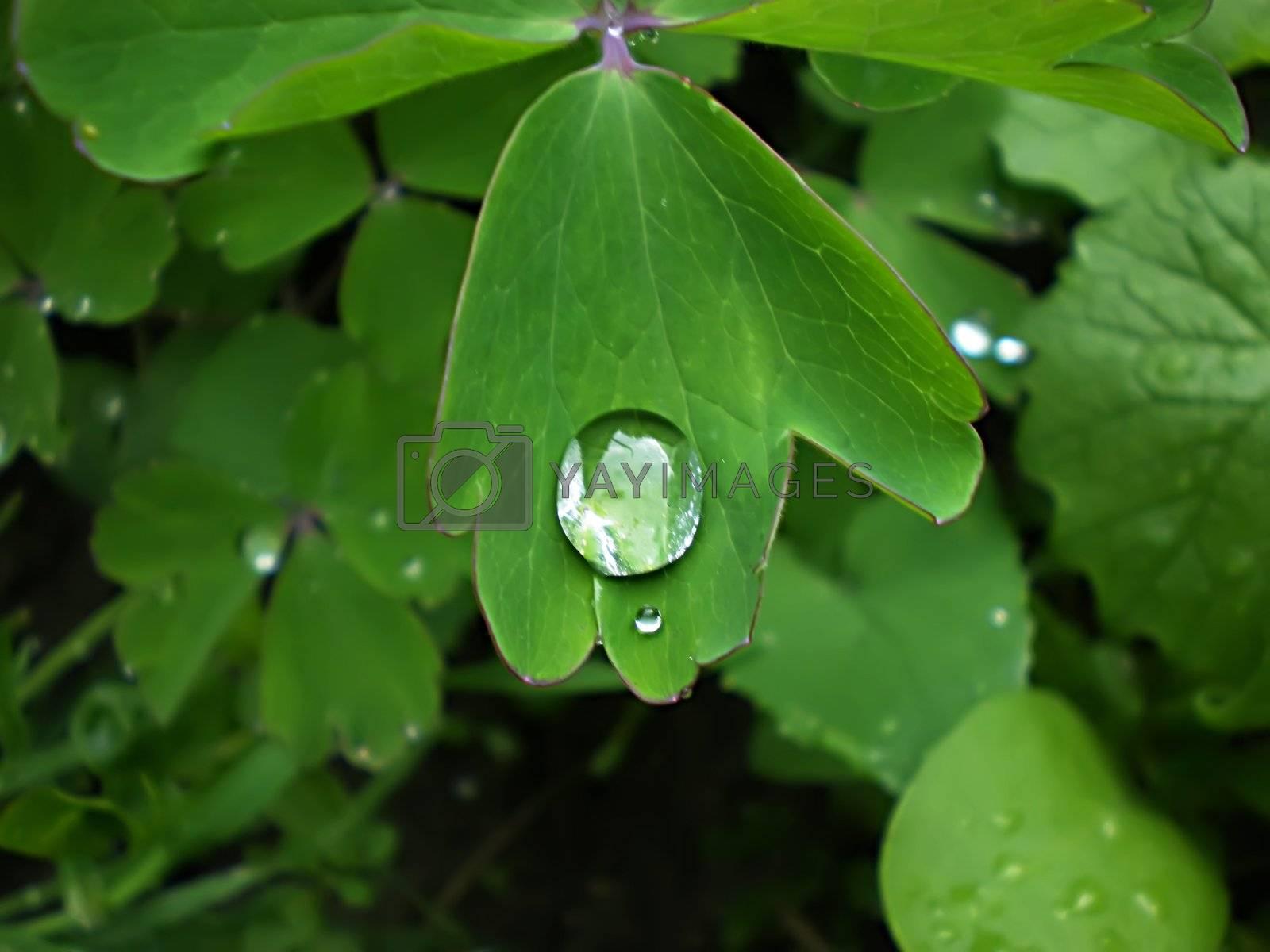 Royalty free image of dew drop by Dessie_bg