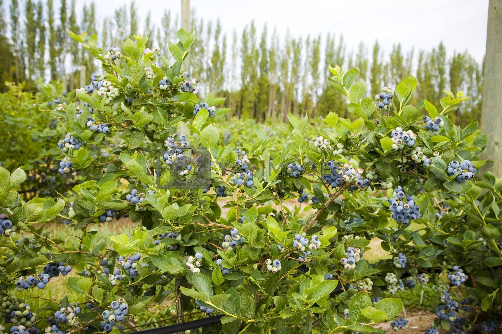 Blueberries at a U Pick berry farm in the Pacific Northwest.