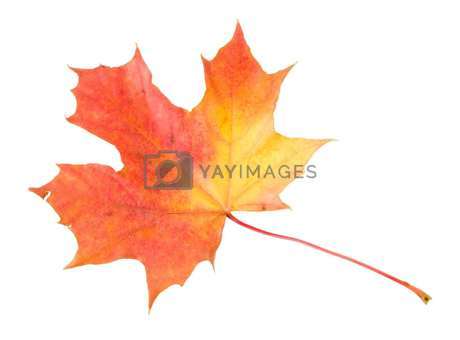 fallen red-yellow maple leaf, isolated on white