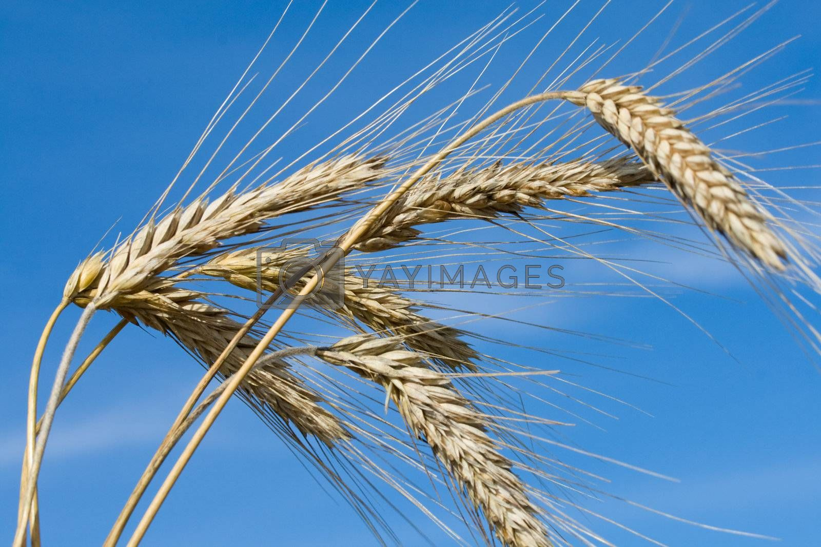 close-up ripe rye ears against a blue sky background