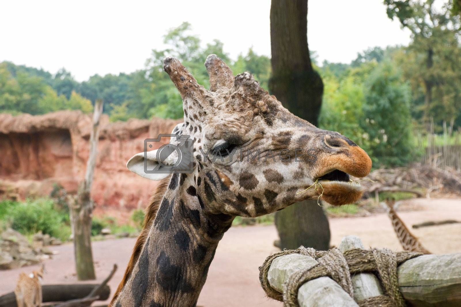 Giraffe chews a grass near to a feeding basket