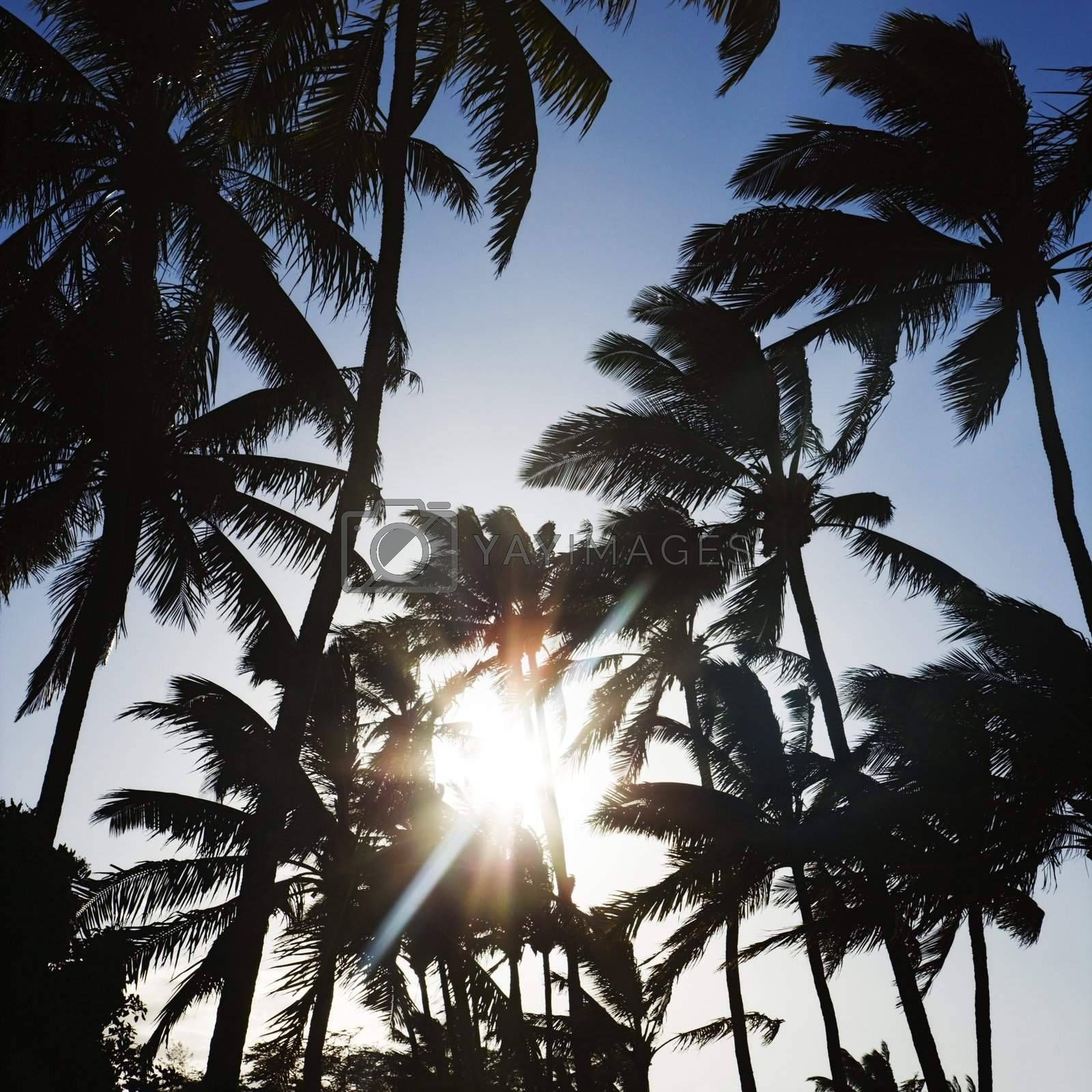 Palm trees silhouetted by sun.