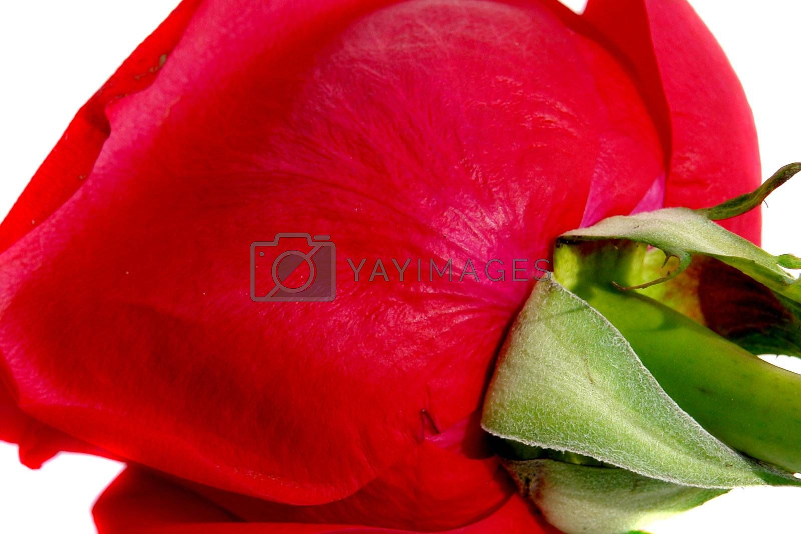 back red rose on white background, isolated image