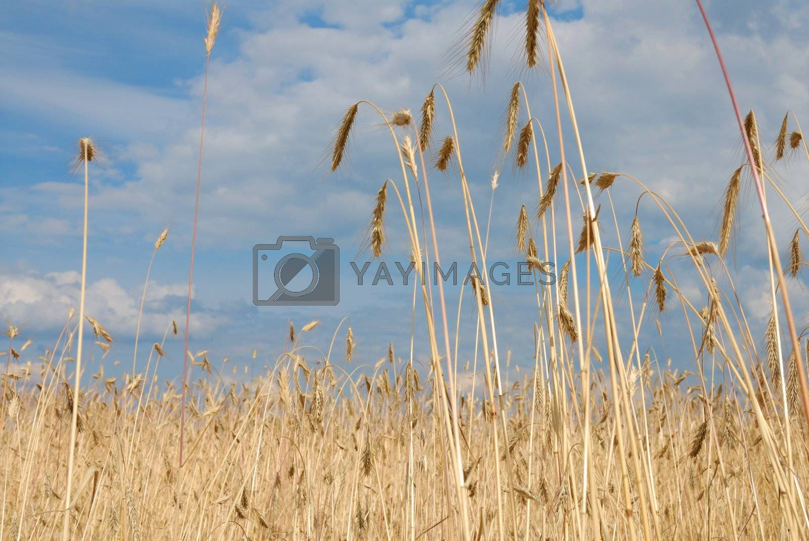 Rural scenery: cereal field against blue sky.