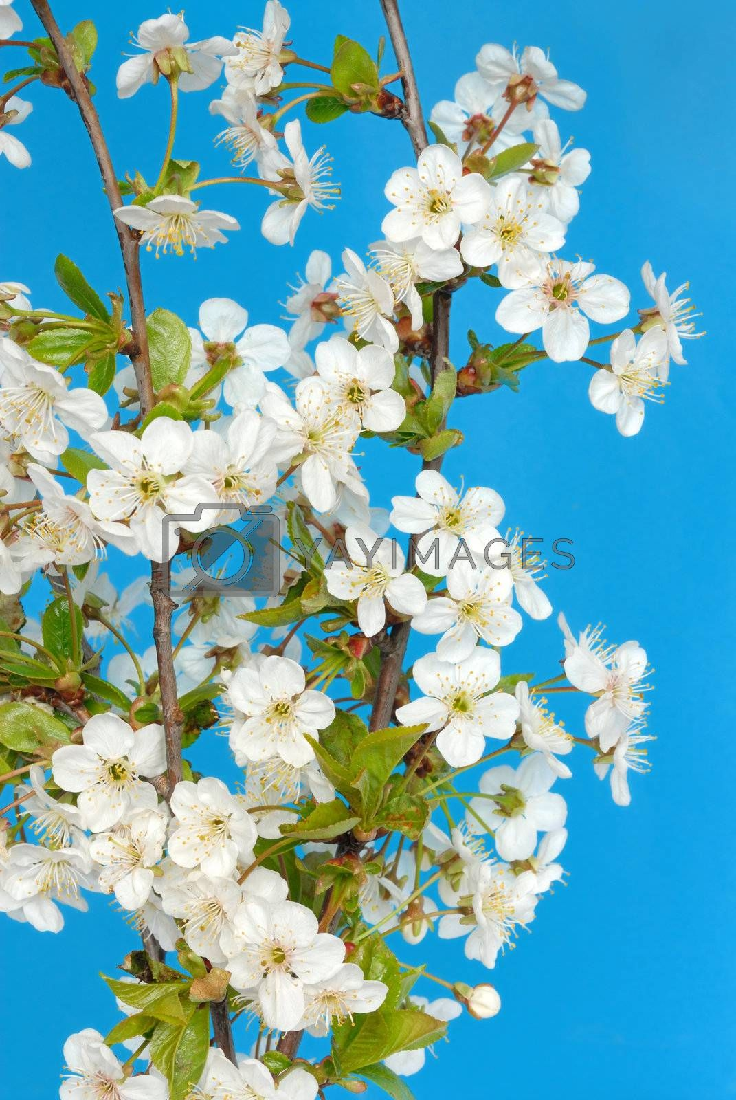 Macro of cherry flowers against blue sky
