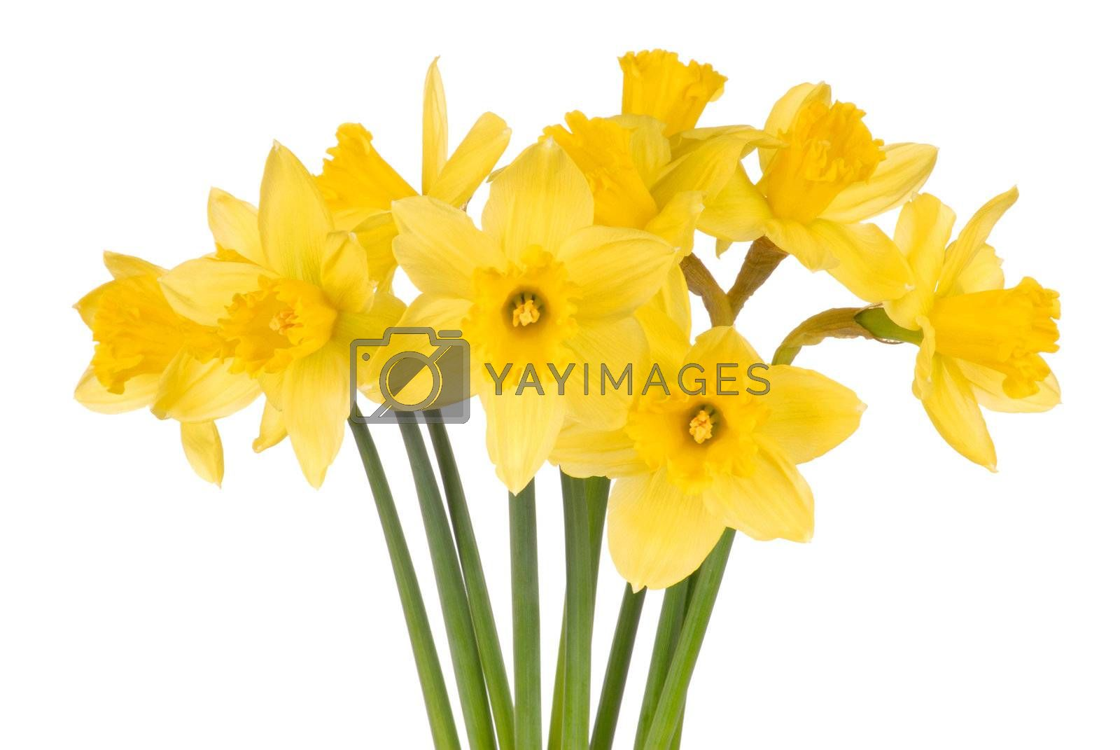 Macro of daffodils isolated on white background