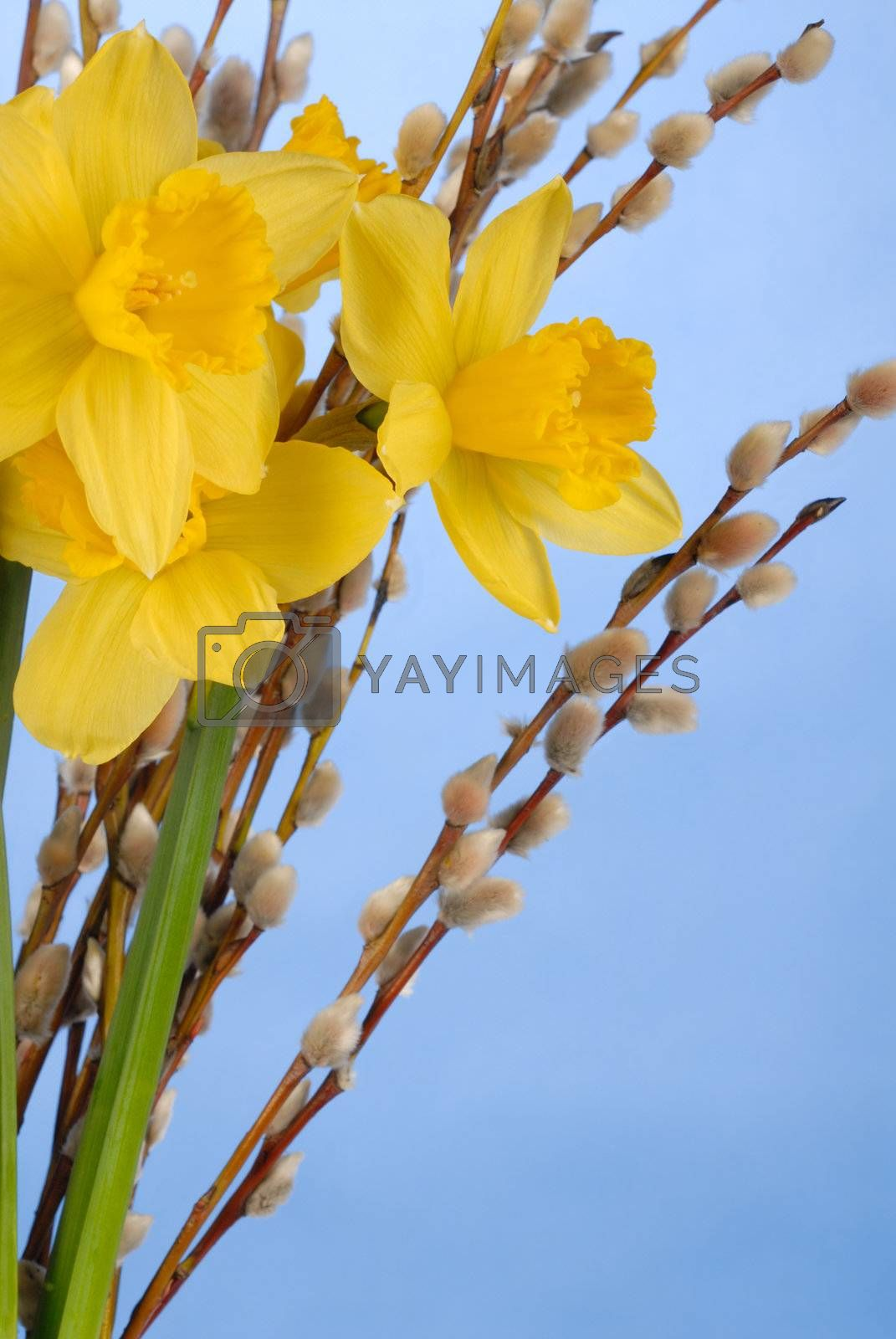 Macro of daffodils on blue background