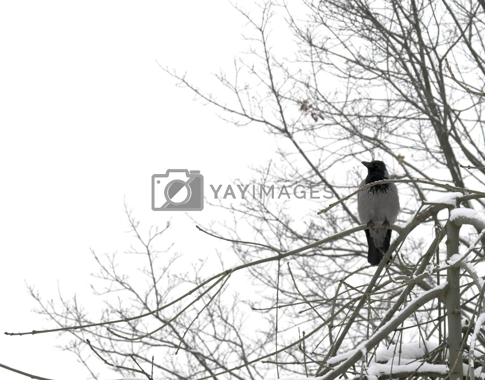 A crow perching on a snow-covered tree branch.