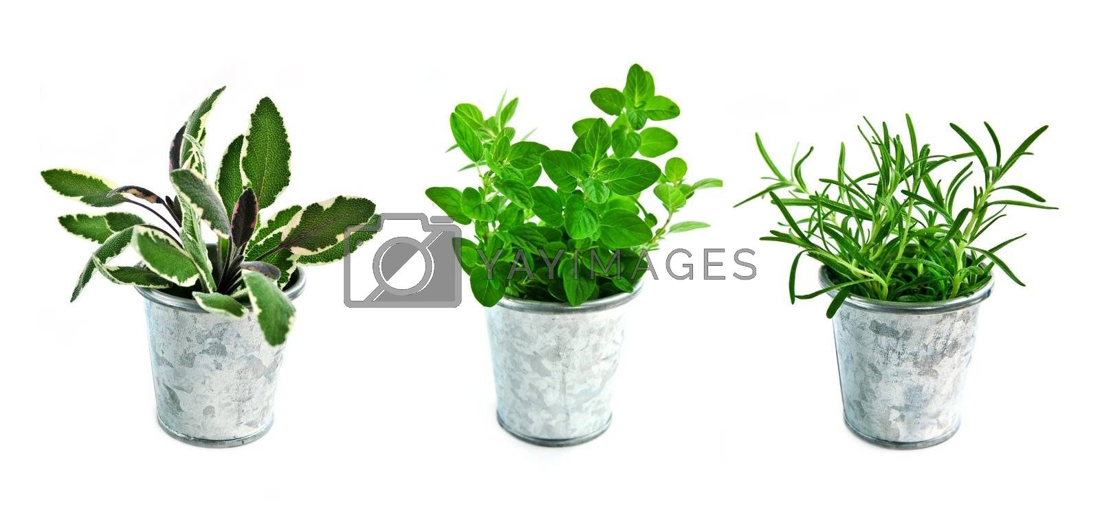 Assorted fresh herbs in buckets isolated on white background