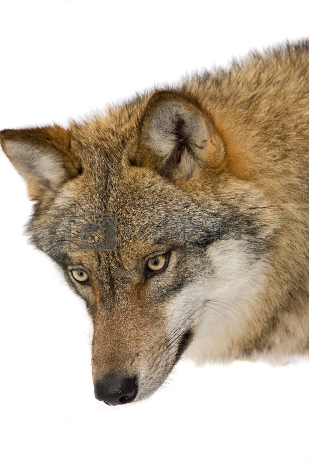 wild wolf in a forrest