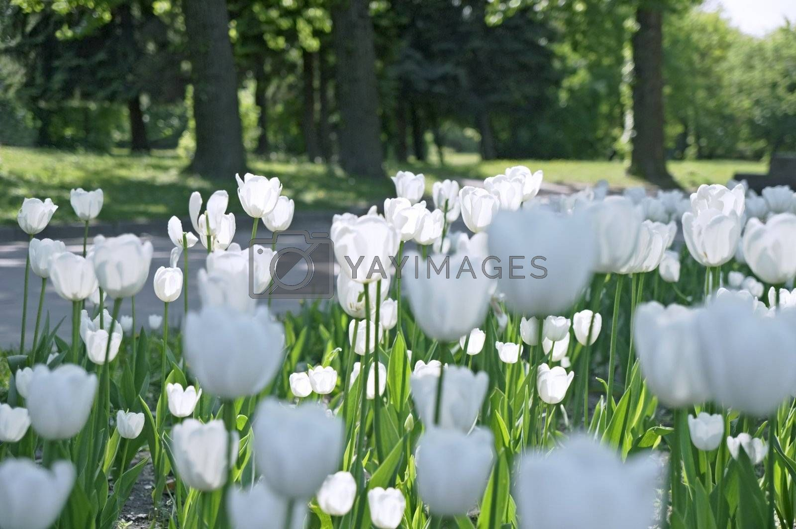 White tulips in city park in spring in Saint Petersburg, Russia.