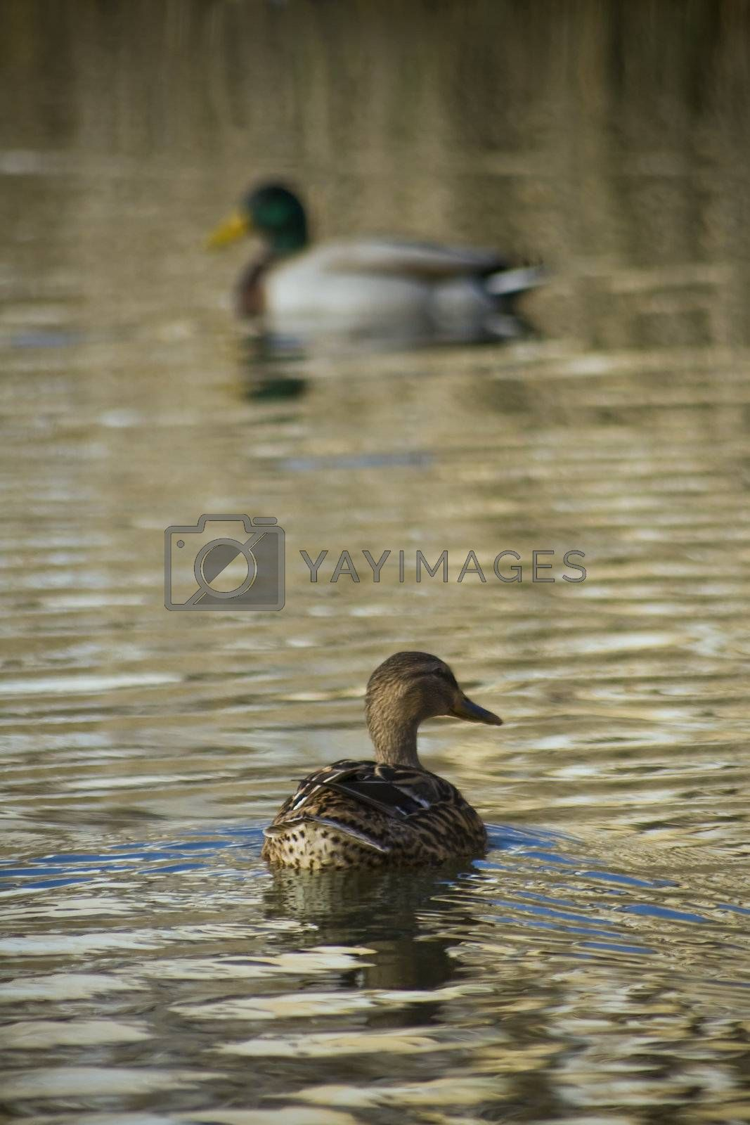 Two mallard ducks into a lake.