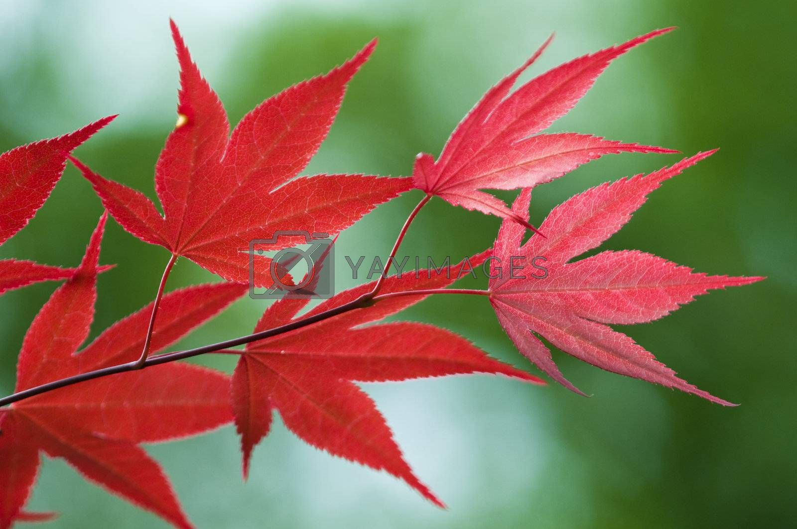Royalty free image of Red leaves of Maple tree by AlessandroZocc