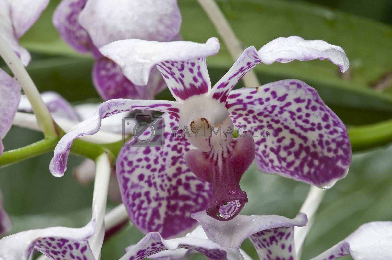 Royalty free image of White and pink tropical orchid flowers by AlessandroZocc