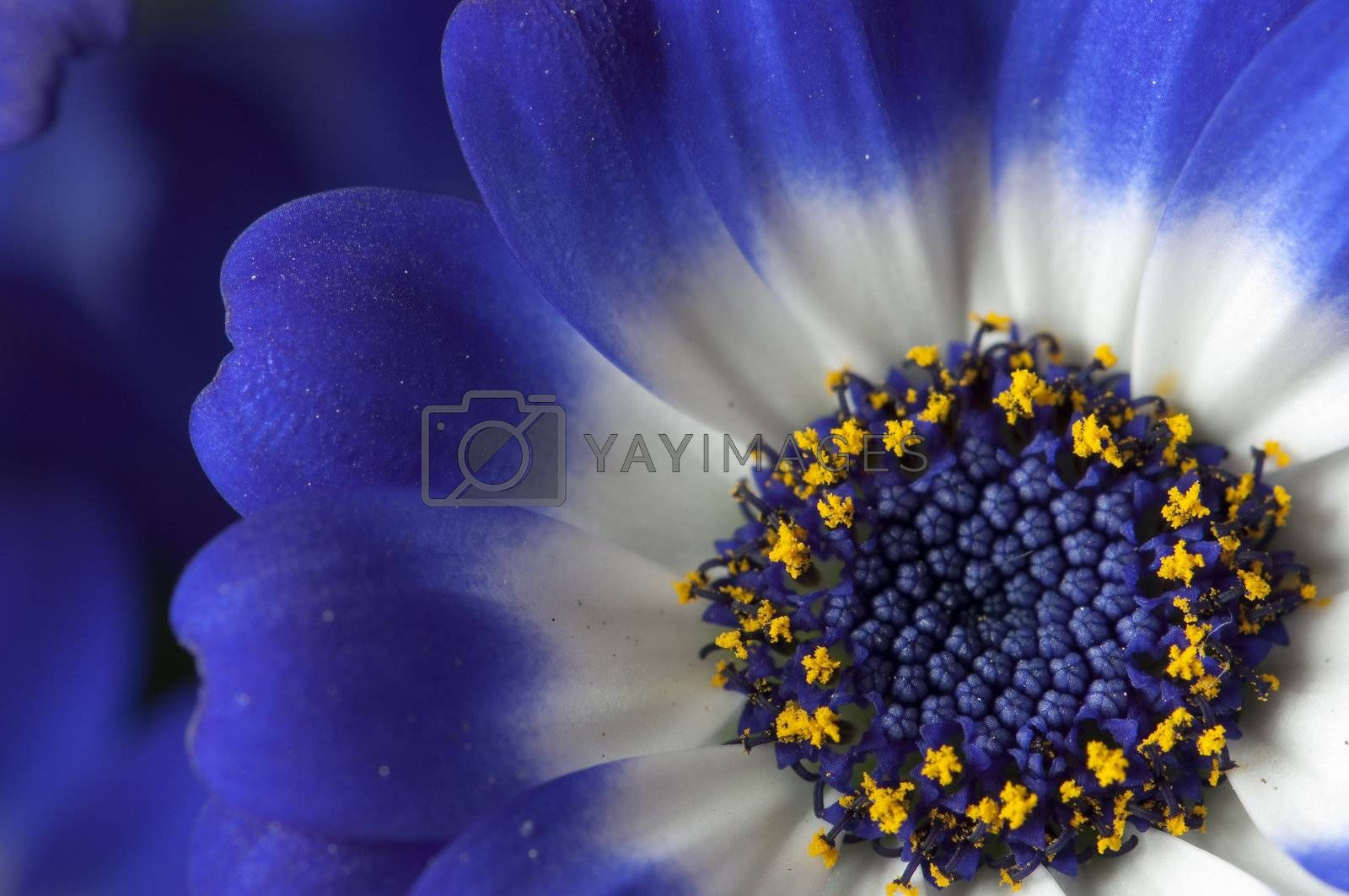 Royalty free image of Closeup of a blue and white daisy by AlessandroZocc