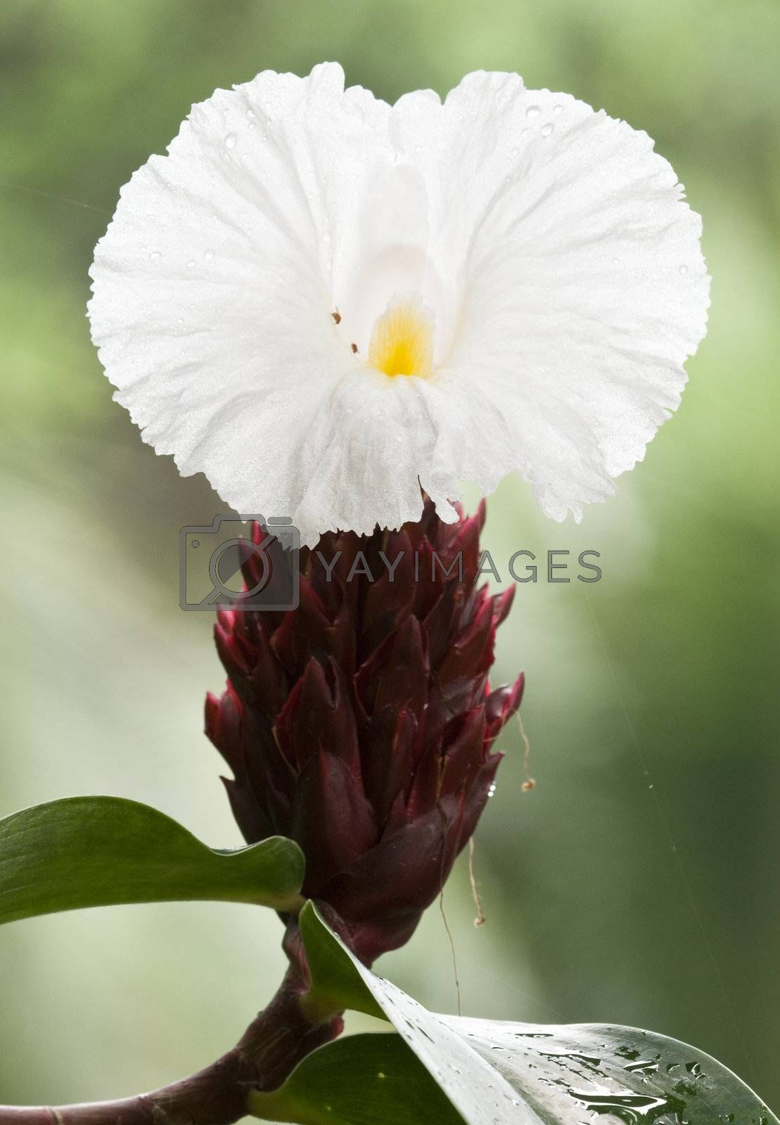 Royalty free image of White and brown tropical flower by AlessandroZocc