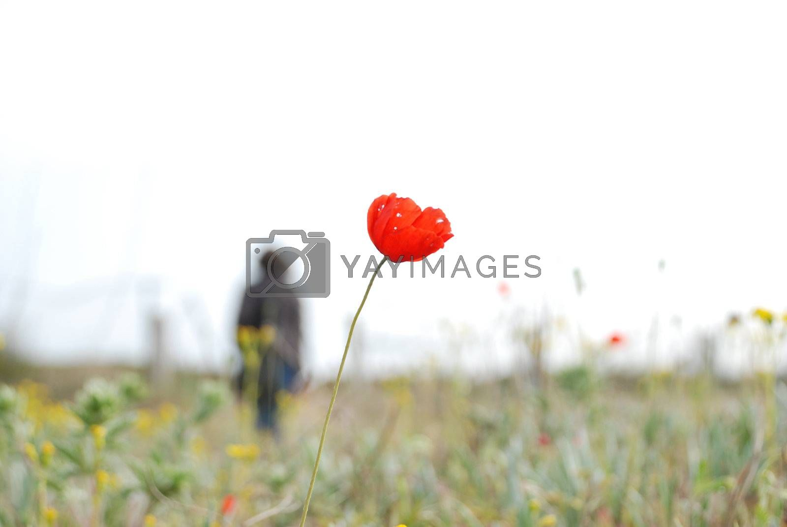 Royalty free image of red poppy by ArtemPasha