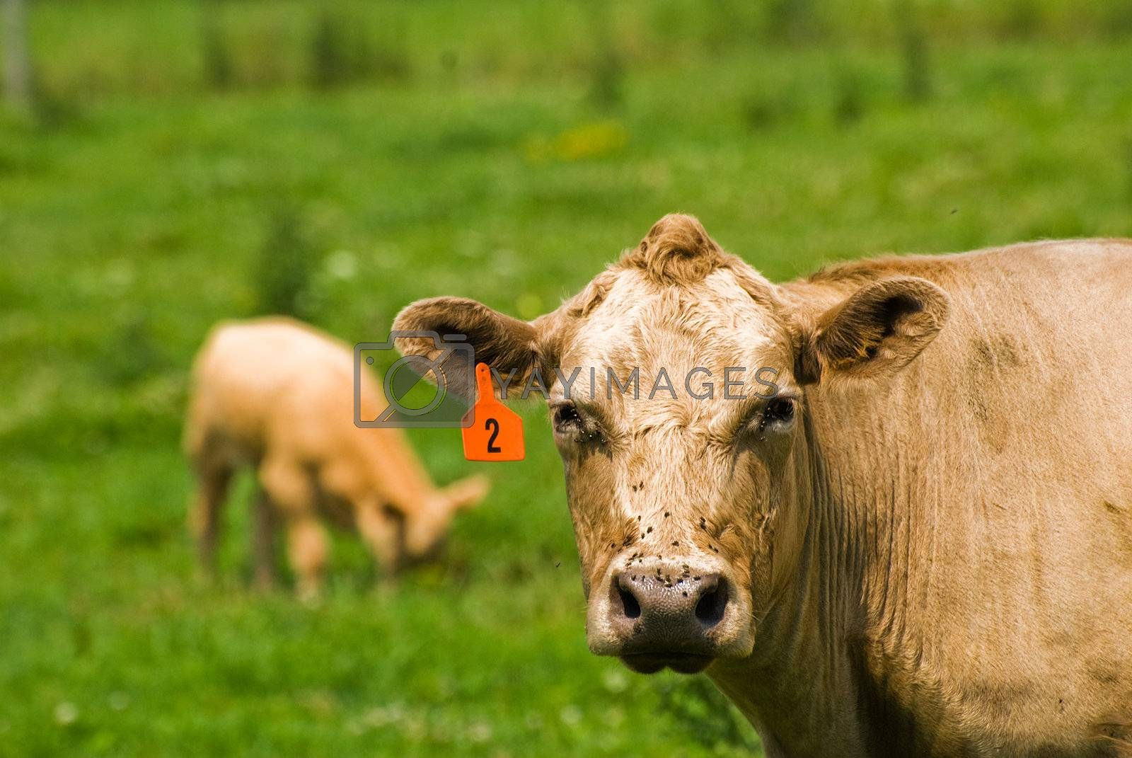 Royalty free image of Cow 4 by chimmi