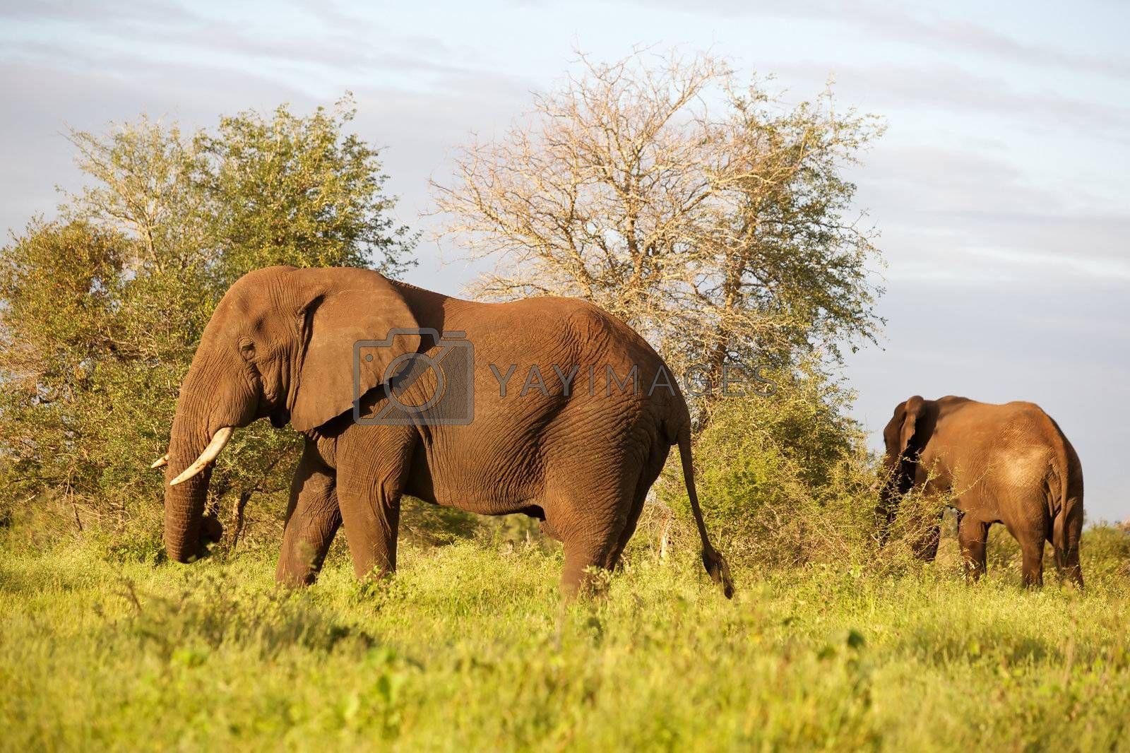 Royalty free image of African Elephant by zambezi