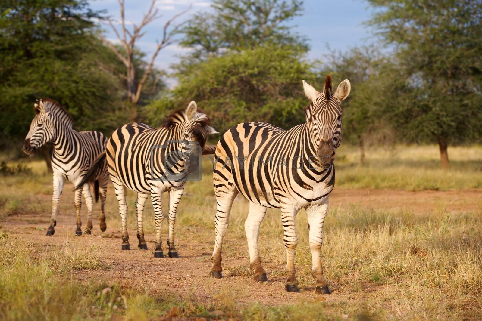 Royalty free image of Burchell's Zebra by zambezi