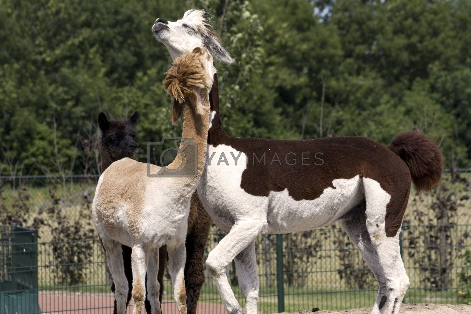 Royalty free image of Two alpacas by gigra