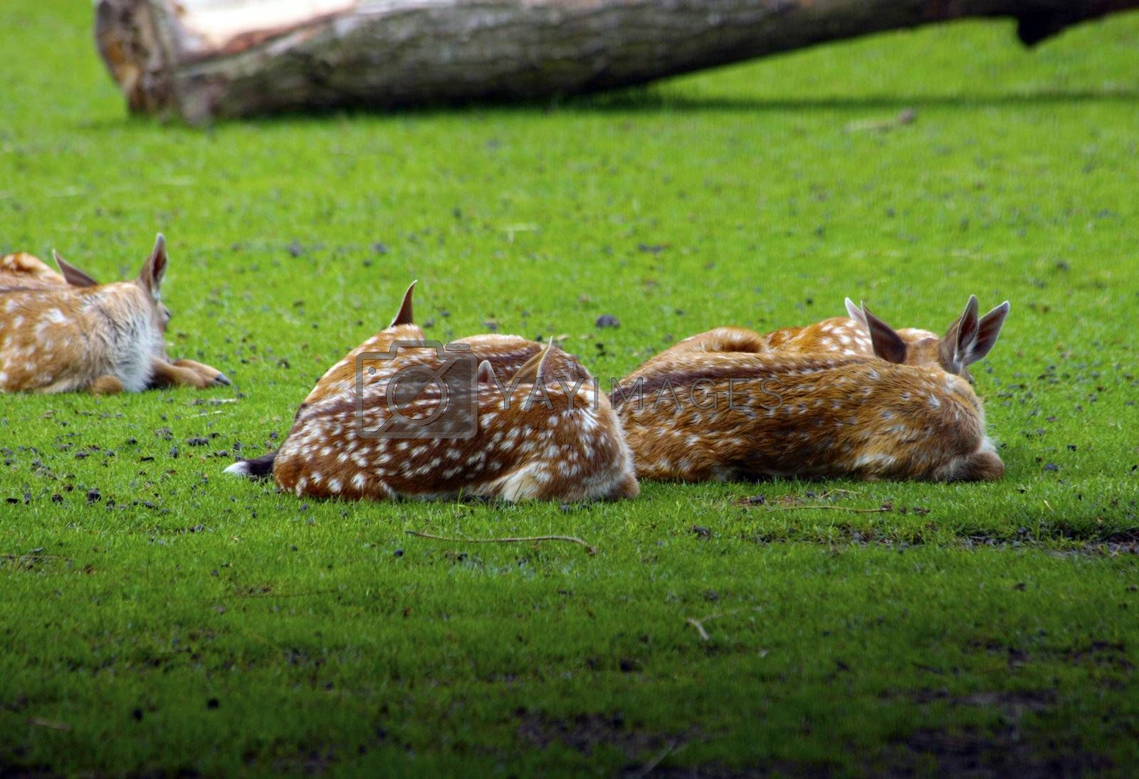 Royalty free image of Deers lying in grass by gigra