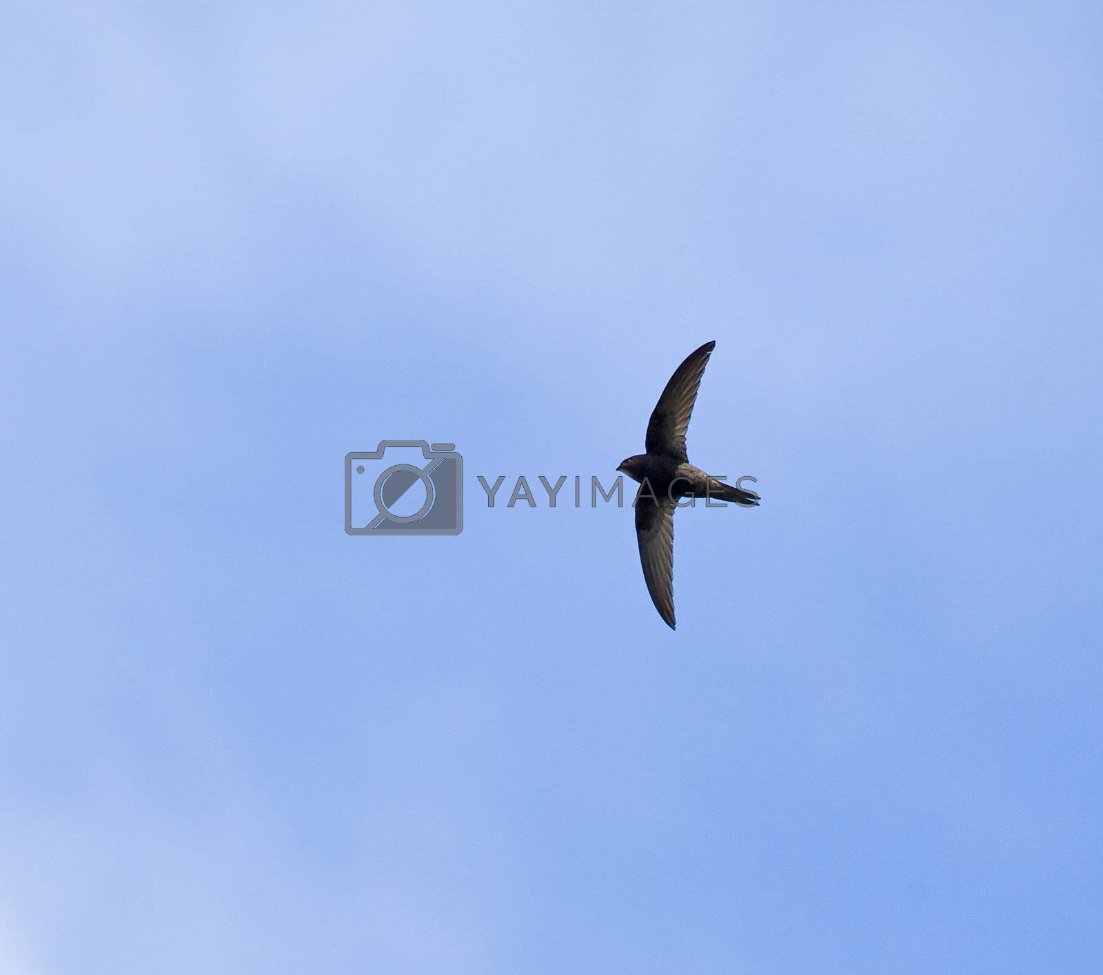 Royalty free image of Common Swift by SueRob
