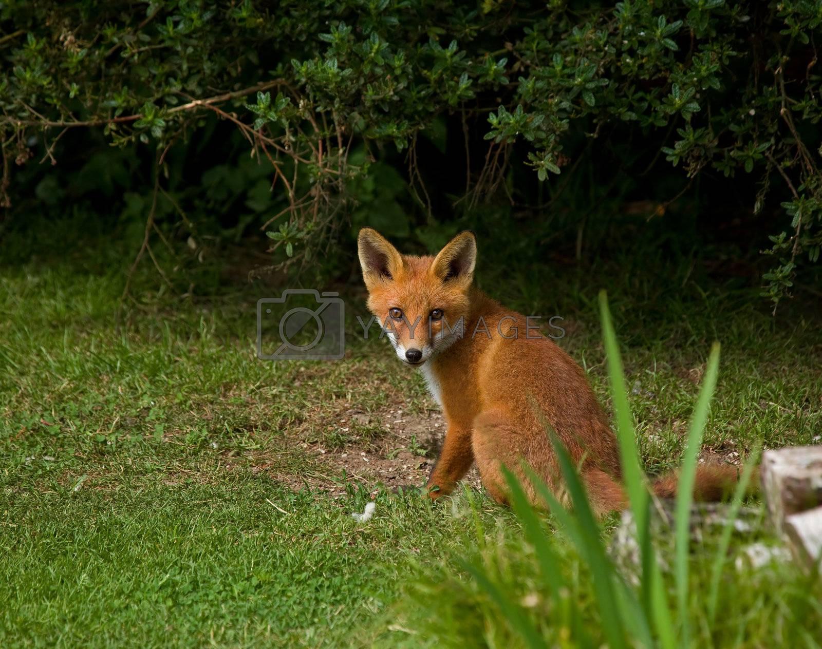 Royalty free image of Fox Cub sitting by SueRob