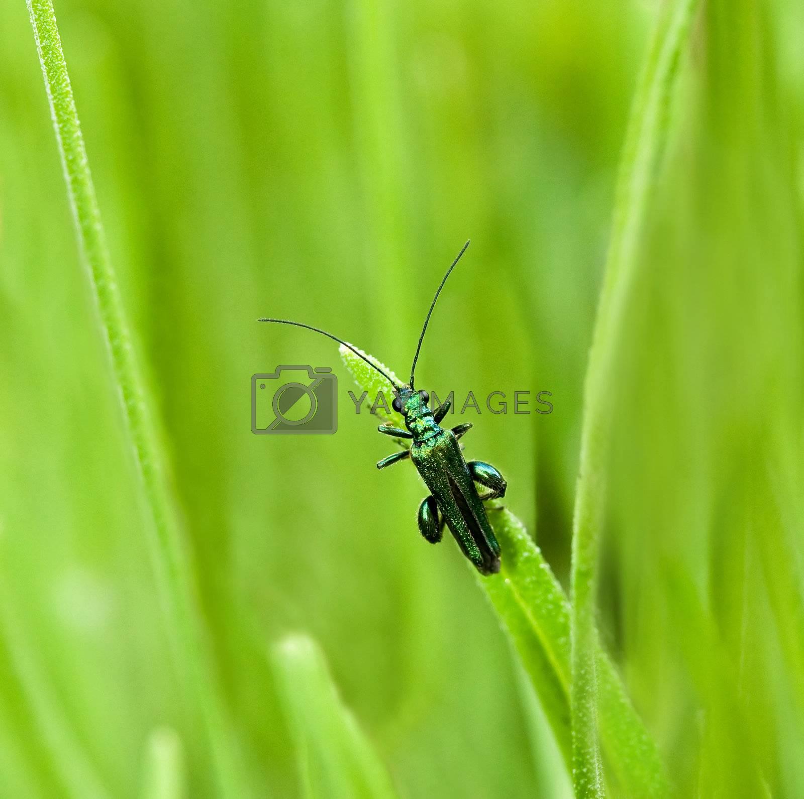 Royalty free image of Oedemera nobilis beetle by SueRob