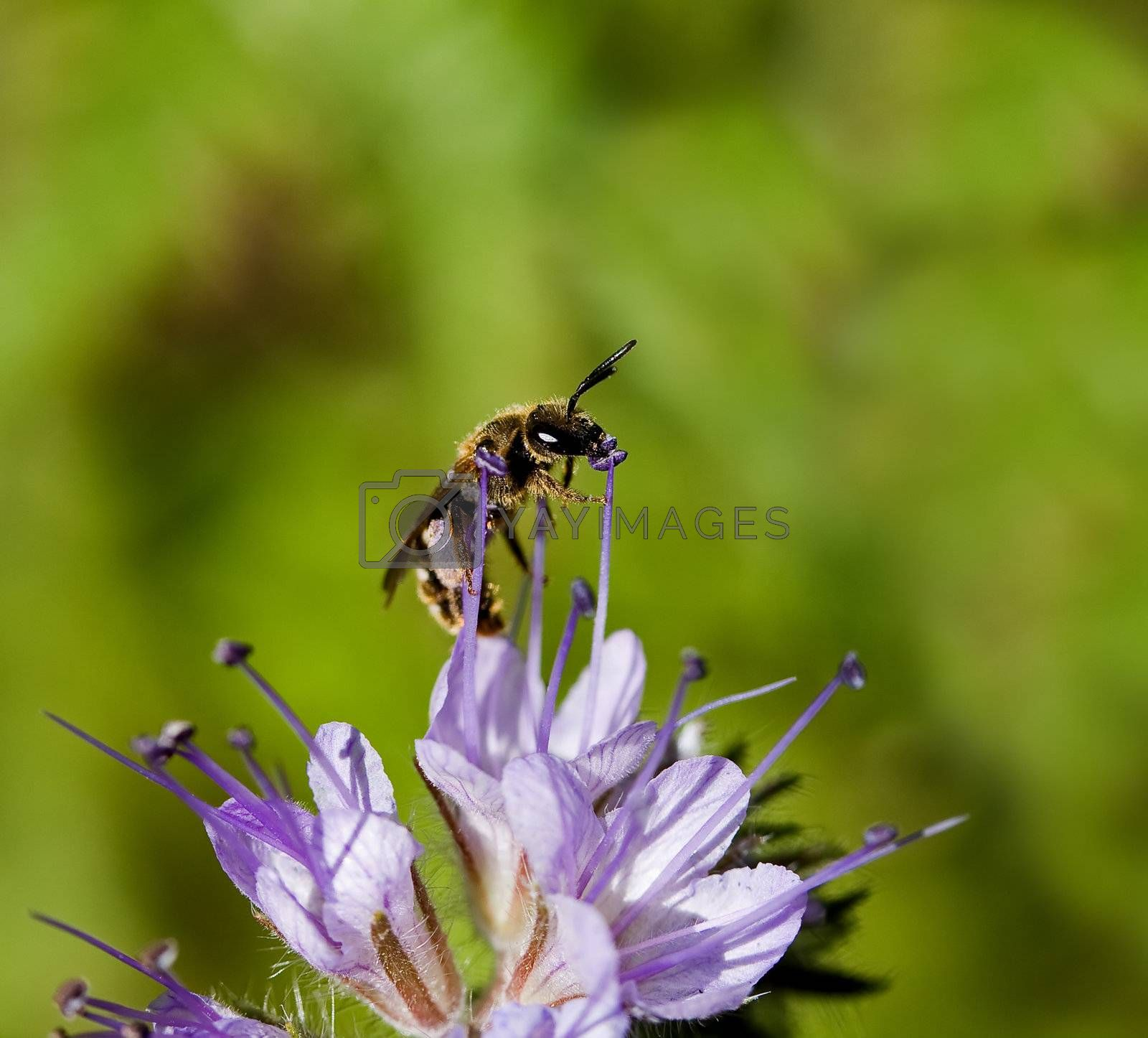 Royalty free image of Solitary Bee on Phacelia flower by SueRob