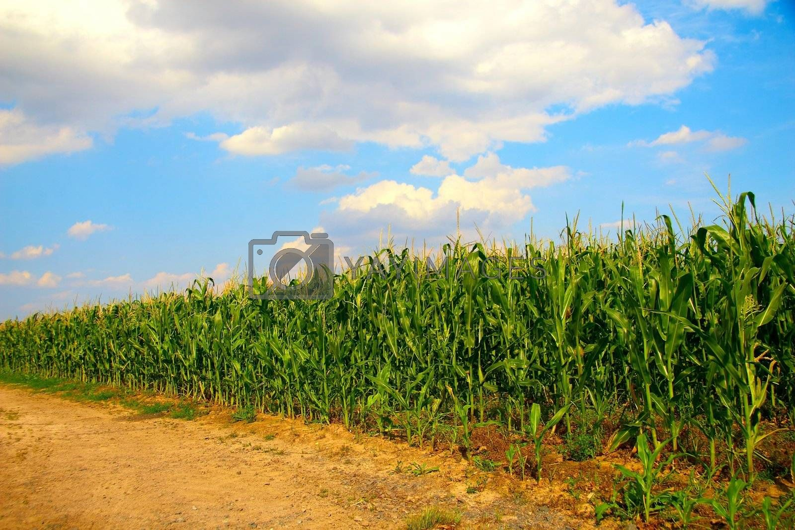 Royalty free image of Corn field by ebrom